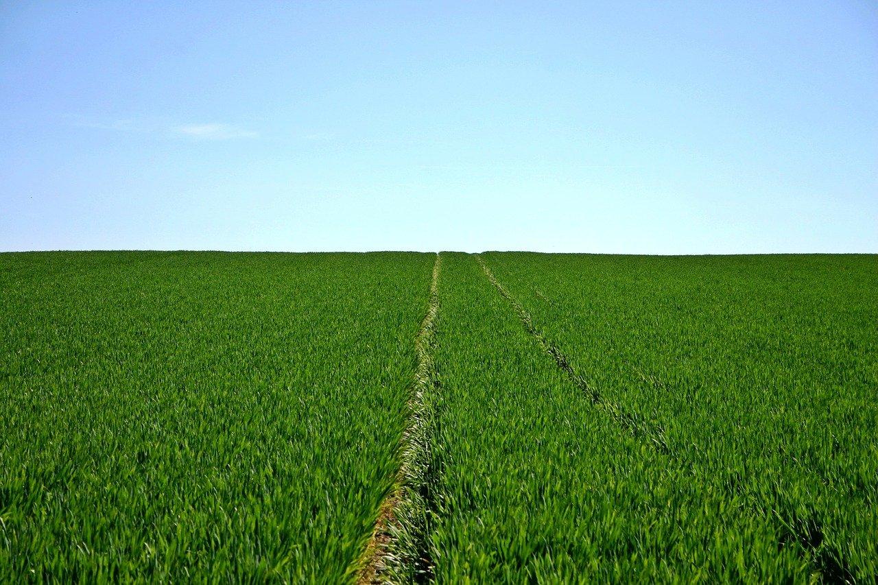 cereals, field, green